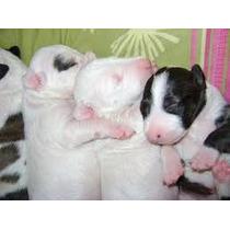 Excelentes Cachorros Bulterrier
