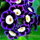 Semilla Petunia Tricolor Flores Raras 20 Semillas Importadas