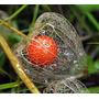 Physalis Alkekengi Lanterna Chinesa Sementes Flor Pra Mudas
