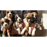 Se Venden Cachorros Bóxer