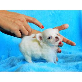 Chihuahua Micro Mini Menor Cão Do Mundo Pedigree Cbkc