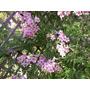 Bignonia Rosada - Rápido Crecimiento Y Llamativa Floración