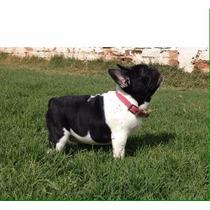 Bulldog Frances Maquila Sangre Española Pedigree Inter