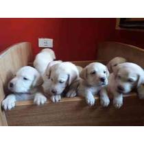 Labrador Retraiver 100% Puros De Padres Y Abuelos (lanus)