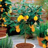 Limoeiro Anão P/ Vasos Sementes Fruta Limão P/ Mudas Bonsai