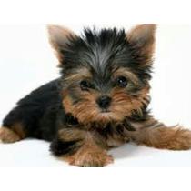 Yorkshire Terrier Yorky Cachorros Miniaturas