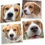 Perro Beagle Caras 5 X 5 Posavasos De Cerámica Súper Absorb