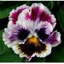 Semillas De Violas Onduladas O Rococo Únicas En Argentina