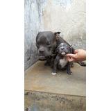 Cachorros American Bully Exoticos Y Micro Vendido
