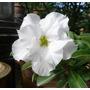 Rosa Do Deserto 15 Sementes Branca - Adenium Duplas Trplas