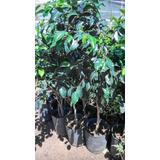 Ficus Benjamina - 15 Lts. - Productor