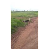 Foxhound Mestre Na Capivara E Paca