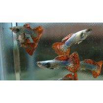 Guppy Lebister Red Dragon R$ 80,00 O Casal