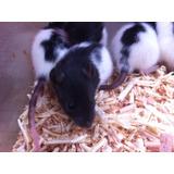 Ratas Guarenes Ratones