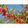 100 Sementes Goji Berry Para Mudas Frescas +frete Gratis