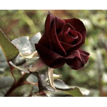 Mudas De Rosa Príncipe Negro 2 Mudas R$48,99