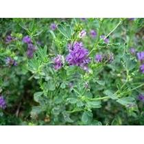 Alfalfa 15 Semillas Hortaliza Germina Fácil Sol Sdqro