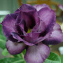 Rosa Do Deserto 15 Sementes Roxa - Adenium Duplas Tripla