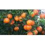 Mandarina Pinatera ( Árbol ) , Pinatera O Chililla 1 M