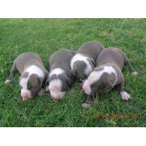 Cachorros Pitbull Blue Fawn