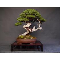 Sementes Bonsai Juniperus Chinensis Arvore P/ Mudas