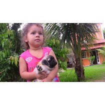 Pug - Filhotes Machos - Nossa Melhor Ninhada
