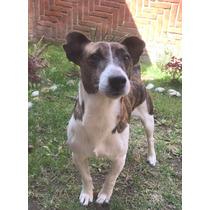 Jack Russell Terrier Para Monta