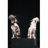 Cachorros Crestado Chino Sin Pelo Peludo Hairless Powderpuff