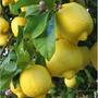 Arbol De Limonero 4 Estaciones Frutales Y Citricos Envios