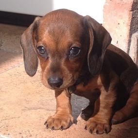 Dachshund Mini-salchicha-enviost/ El Pais-pedigree Acai-acw