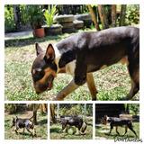 Cobertura Bull Terrier
