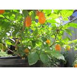 Pimenta Ouro Fogo Original Frutífera Sementes Para Mudas