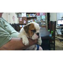 Bulldog Ingles Cachorras Con Fca Hermosas !!!!!!! 5 Meses