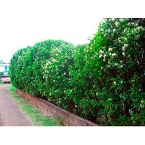 Murta De Cheiro Jasmim Cerca Viva Bonsai Sementes P/ Muda