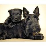 Cachorros Terry Escoses