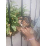 Cachorra Yorkie Mini Hermosa