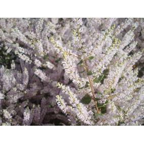 Promoção! 5 Sementes De Mirra, Incenso Natural Para Mudas