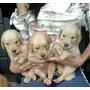 Golden Retriever Cachorros De Raza