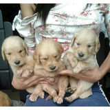 Golden Retriever Cachorros De Raza