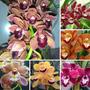 1 Muda Grande Orquídea Cymbidium P/ Presente Somente Sedex