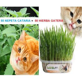 Combo 100 Semillas Nepeta Cataria Catnip Y Hierba Gatera 2x1