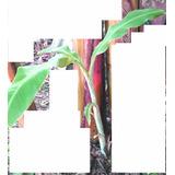 Planta De Banano O Bananero Para Jardín O Parque