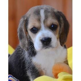 Beagle,pedigree,tatuaje,chip,garantia De Vida Excelentes.