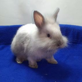 Conejos De Raza Enanos-cabezas De León-orejas Caida Pethome