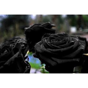 15 Sementes Rosa Preta Negra Exótica Rara + Frete Grátis!!