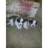 Cachorros San Bernardo De Raza Pura