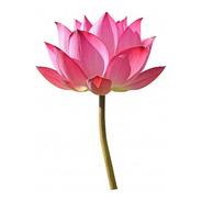 Flor De Lotus - Nelumbo Nucifera - Lotus Sagrado - Sementes