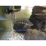Julidochromis Marlieri Ciclidos Africanos