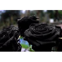 40 Semente De Rosa Negra Rara Exotica Pra Fazer Muda