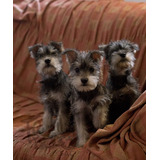 Cachorros - Schnauzer - Paga Con Visa - Mascotas
